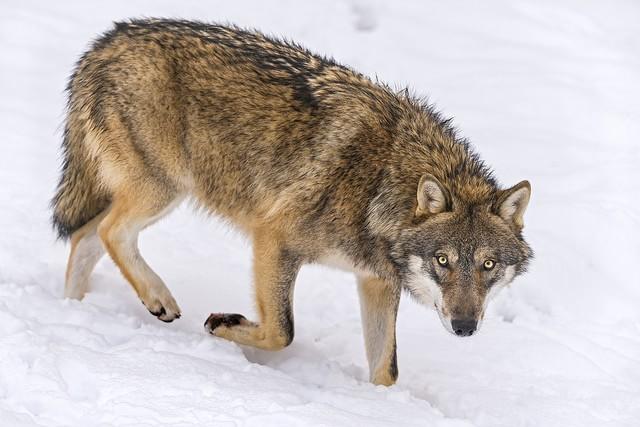 Zostań wilkiem rynku forex